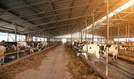 Un affare tipico della latteria dell'azienda agricola della mucca, commercio nel settore agricolo, commercio - raggiro Immagini Stock