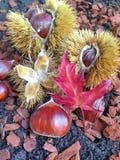 Un affichage d'automne des châtaignes Photo stock
