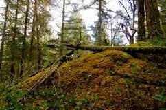 Un afloramiento de roca en el bosque se cubre con el musgo de oro de la pluma imagen de archivo