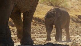 Un africana mignon de Loxodonta d'éléphant africain de bébé, Addo Elephant National Park, Afrique du Sud photo stock