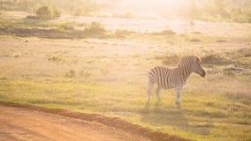 Un africano aclara la cebra pasta en la hora de oro metrajes