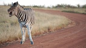 Un Africano plains gli sbadigli della zebra e scuote la polvere mentre sta su una strada non asfaltata video d archivio