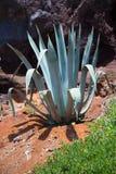 Un'agave contro la roccia Fotografia Stock Libera da Diritti