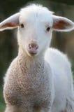 Un agneau de chéri Images stock