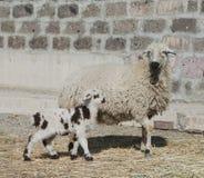 Un agneau de mois avec des moutons Images stock