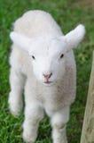 Un agneau mignon blanc sur l'herbe verte Photos stock