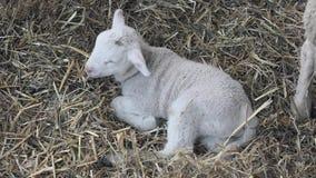 Un agneau nouveau-né banque de vidéos