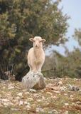 Un agnello che sta su una pietra in Croazia Immagini Stock Libere da Diritti