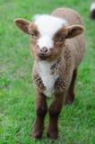 Un agnello del bambino su erba verde immagini stock