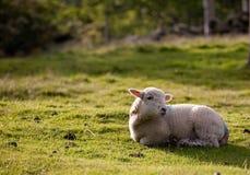 Un agnello della sorgente Fotografia Stock