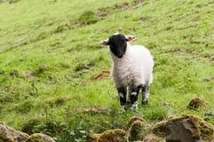 Un agnello scozzese del blackface Immagine Stock Libera da Diritti