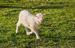 Un agnello sveglio Fotografie Stock