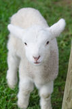 Un agnello sveglio bianco su erba verde Fotografie Stock