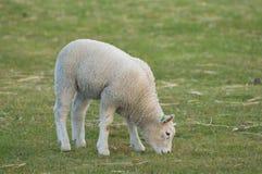 Un agnello in un prato. Immagini Stock Libere da Diritti