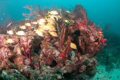 Un agrégat des espèces instruisant au-dessus d'un récif coralien Image libre de droits