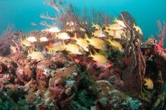 Un agrégat des espèces instruisant au-dessus d'un récif coralien Photo stock