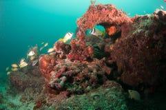 Un agrégat des espèces instruisant au-dessus d'un récif coralien Photo libre de droits