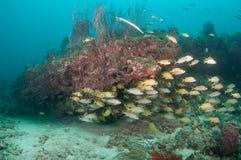 Un agrégat des espèces instruisant au-dessus d'un récif coralien Photos libres de droits