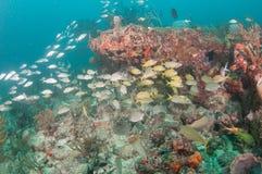Un agrégat des espèces instruisant au-dessus d'un récif coralien Photographie stock