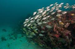 Un agrégat des espèces instruisant au-dessus d'un récif coralien Photos stock