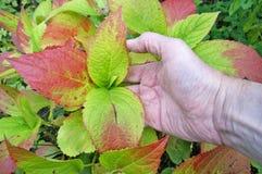 Un agricoltore anziano del nonno tiene in sua mano le foglie di un autunno Immagine Stock