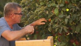 Un agricoltore anziano seleziona le mele mature rosse da un albero e le mette in una scatola di legno Azienda agricola ecologica stock footage