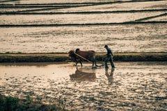 Un agricoltore ara il suo campo nel Vietnam Fotografia Stock