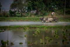 Un agricoltore che lavora vicino al lago Myanmar Inle Fotografia Stock