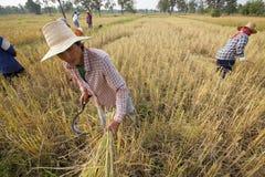 Un agricoltore che raccoglie a mano riso, in un giacimento del riso in Tailandia di nordest, durante la stagione del raccolto Fotografie Stock