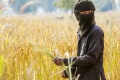Un agricoltore che raccoglie a mano riso, in un giacimento del riso in Tailandia di nordest, durante la stagione del raccolto Fotografia Stock
