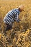 Un agricoltore che raccoglie a mano riso, in un giacimento del riso in Tailandia di nordest, durante la stagione del raccolto Fotografia Stock Libera da Diritti