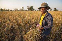 Un agricoltore che raccoglie a mano riso, in un giacimento del riso in Tailandia di nordest, durante la stagione del raccolto Immagini Stock Libere da Diritti