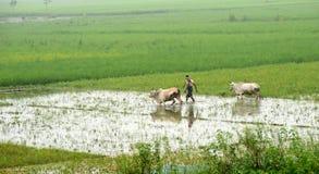 Un agricoltore con due manzi nell'azienda agricola del riso Fotografia Stock Libera da Diritti