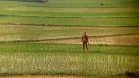 Un agricoltore del Bangladesh sta stando sul metà di del suo campo Immagine Stock Libera da Diritti