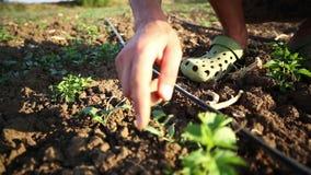 Un agricoltore diserba il campo, pulisce le erbacce a mano intorno alle plantule stock footage