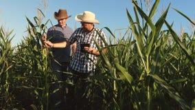 Un agricoltore e un agronomo ispezionano le pannocchie di fioritura di un campo e di granturco Il concetto dell'affare agricolo U video d archivio