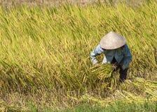 Un agricoltore falcia con i gambi maturi del riso della falce nel campo Immagini Stock