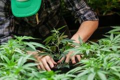 Un agricoltore mette la sua pianta di marijuana in suolo fotografia stock