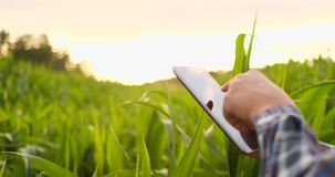 Un agricoltore nel suo campo di mais esamina i suoi raccolti con una compressa digitale al tramonto archivi video