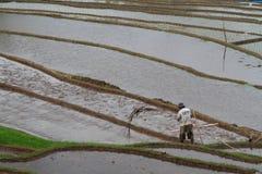 Un agricoltore nelle risaie sommerse di Bali Immagine Stock