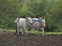 Un agricoltore sta arando un campo da un modo tradizionale Fotografia Stock Libera da Diritti