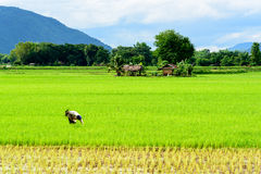 Un agricoltore sta diserbando in una risaia Fotografie Stock Libere da Diritti