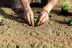 Un agricoltore sta piantando una lattuga nel suolo Immagini Stock Libere da Diritti