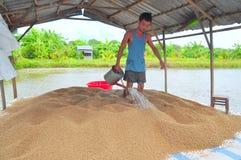 Un agricoltore sta preparando alimentare il pesce gatto di pangasius nel suo stagno dell'azienda agricola Fotografie Stock