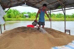 Un agricoltore sta preparando alimentare il pesce gatto di pangasius nel suo stagno dell'azienda agricola Immagini Stock Libere da Diritti