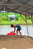 Un agricoltore sta preparando alimentare il pesce gatto di pangasius nel suo stagno dell'azienda agricola Fotografie Stock Libere da Diritti