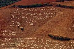 Un agricoltore sta raccogliendo ad un giacimento di grano, con un rimorchio del cavallo Immagine Stock Libera da Diritti