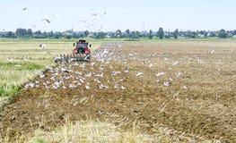 Un agricoltore su un trattore che ara la terra, circondata dagli uccelli Immagini Stock Libere da Diritti