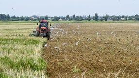 Un agricoltore su un trattore che ara la terra, circondata dagli uccelli Fotografia Stock