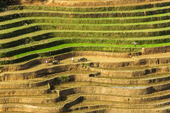 Un agricoltore sul giacimento del riso nel Vietnam Fotografia Stock